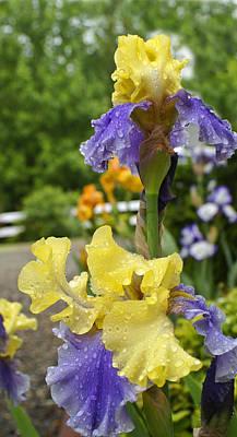 Photograph - Iris I by Henri Irizarri