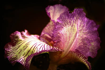Photograph - Iris Illuminated by Jessica Jenney