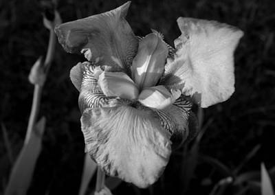 Photograph - Iris In Black And White by Jean Evans