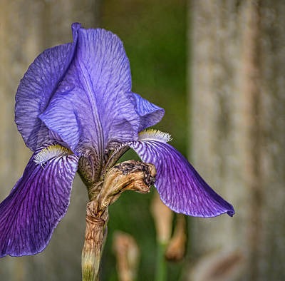 Photograph - Iris In Late April by Greg Jackson