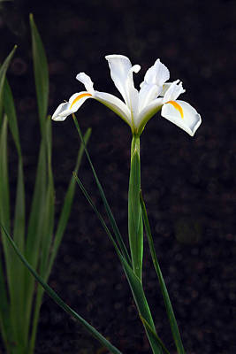Photograph - Iris In My Glory by James Steele