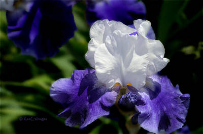 Photograph - Iris In White And Purple by Kae Cheatham