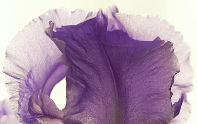 Simplicity Of The Purple Iris Art Print