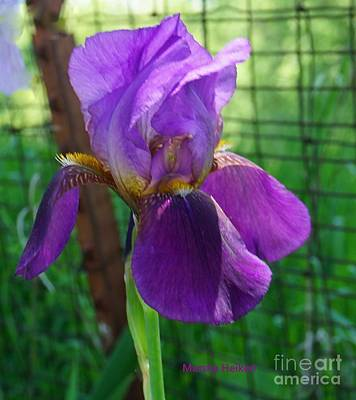 Photograph - Iris Leaning On A Country Fence by Marsha Heiken