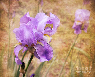 Photograph - Iris by Lena Auxier
