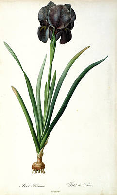 Shoot Painting - Iris Luxiana by Pierre Joseph  Redoute