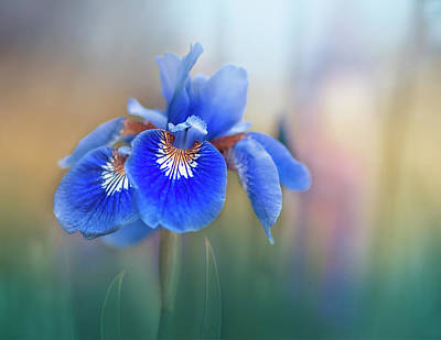 Irises Photograph - Iris by Magda Bognar