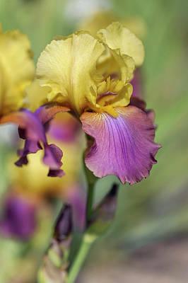 Photograph - Iris Milestone. The Beauty Of Irises by Jenny Rainbow