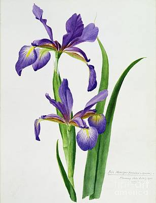 Purple Flowers Painting - Iris Monspur by Anonymous