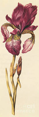 Iris Art Print by Nicolas Robert