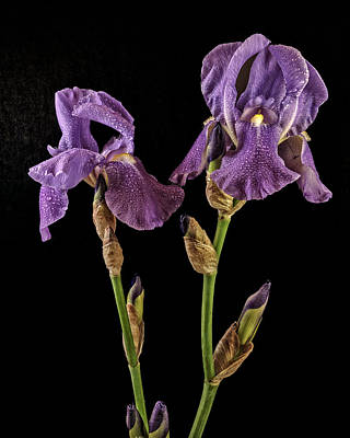 Photograph - Iris On Black by Wes and Dotty Weber