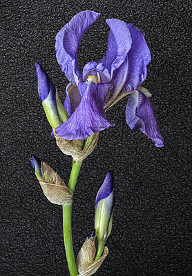 Photograph - Iris On Black Leather by Wes and Dotty Weber