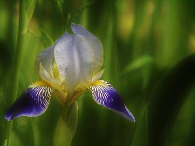 Photograph - Iris On Green by Barbara St Jean