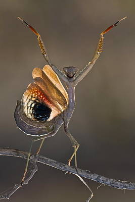 Bug Photograph - Iris Oratoria by Hasan Baglar