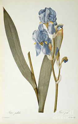Les Liliacees Painting - Iris Pallida by Pierre Joseph Redoute