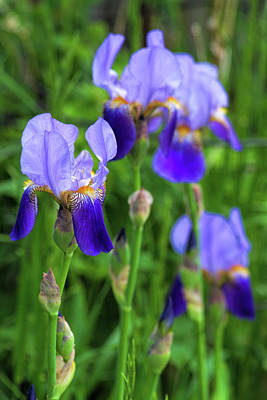 Photograph - Iris Parade  by Alana Thrower
