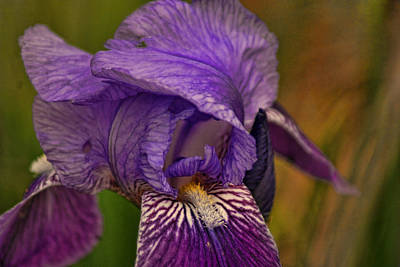 Photograph - Iris Popping Out by Rick Friedle