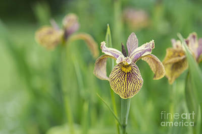 Irises Photograph - Iris Pseudacorus Berlin Tiger by Tim Gainey