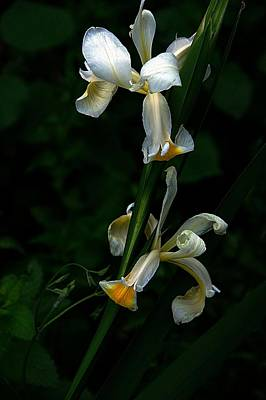 Photograph - Iris Purity by Karen McKenzie McAdoo