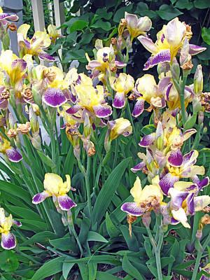 Photograph - Iris Purple And Yellow by Barbara McDevitt