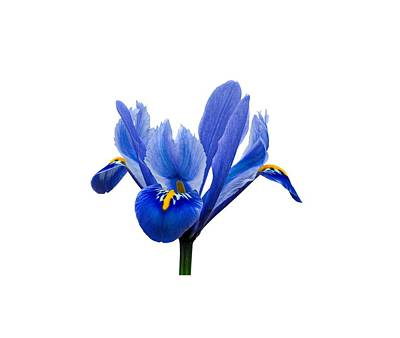 Photograph - Iris Recticulata Transparent Background by Paul Gulliver