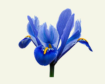 Photograph - Iris Reticulata, Cream Background by Paul Gulliver