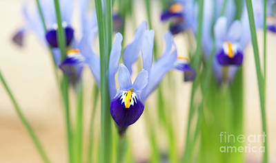 Photograph - Iris Reticulata Gordon  by Tim Gainey
