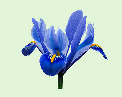 Photograph - Iris Reticulata, Green Background by Paul Gulliver