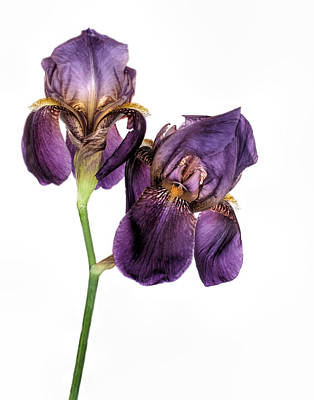 Photograph - Iris Royal Family by David and Carol Kelly
