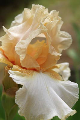 Photograph - Iris' Secret by Michele Myers