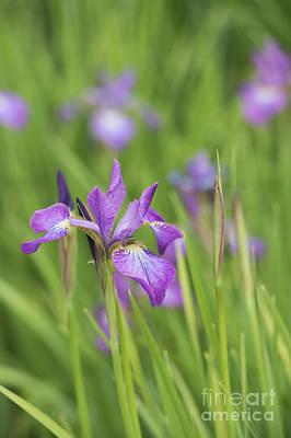 Iris Sibirica Sparkling Rose Flower Art Print