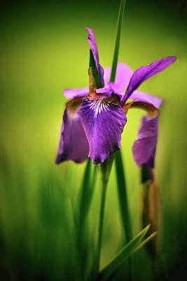 Photograph - Iris Splendor by Jessica Jenney