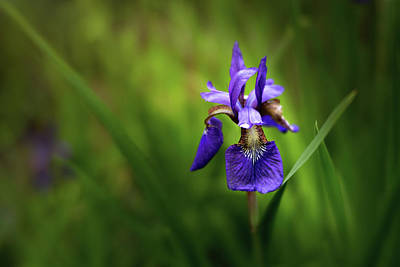 Photograph - Iris Spotlight by Mary Jo Allen
