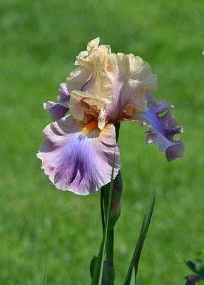 Photograph - Iris Spring - Dawn by rd Erickson