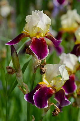 Photograph - Iris Spring by Karon Melillo DeVega