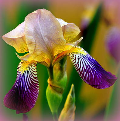 Photograph - Iris Stepping Out by Kimberly Woyak
