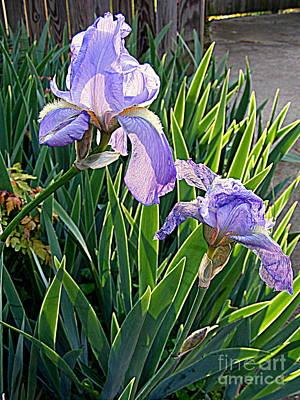 Photograph - Iris Sun Bath by Nancy Kane Chapman