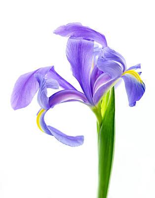 Iris Take A Bow Art Print