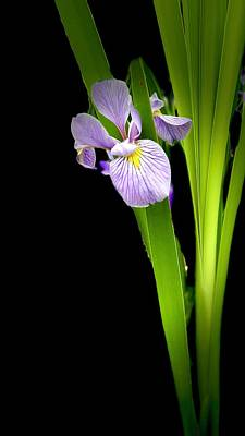 Photograph - Iris Via Iphone by Onyonet  Photo Studios