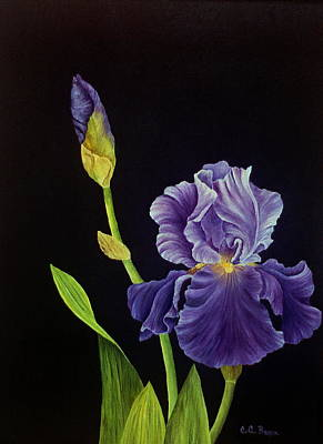 Painting - Iris With Purple Ruffles by Charlotte Bacon