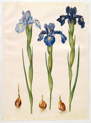 Iris Drawing - Iris Xiphioides by Johannes Simon Holtzbecher