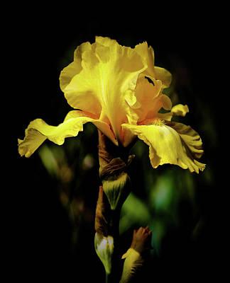 Photograph - Iris Yellow by Athena Mckinzie