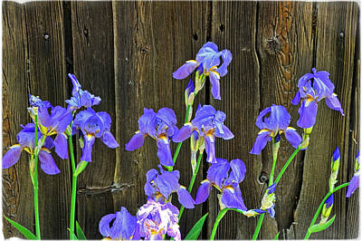 Photograph - Irises Against The Barn by Mike Martin