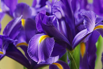 Irises, Close View, California Print by Marc Moritsch