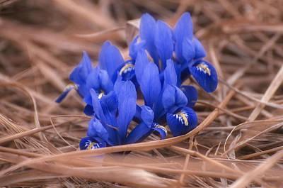 Fleur De Lis Photograph - Irises by Konstantin Sevostyanov