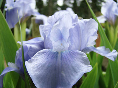 Irish Leprechauns - Irises Light Blue Artwork Iris Flowers Baslee Troutman by Patti Baslee