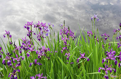 Photograph - Irises On The Water by Lise Winne