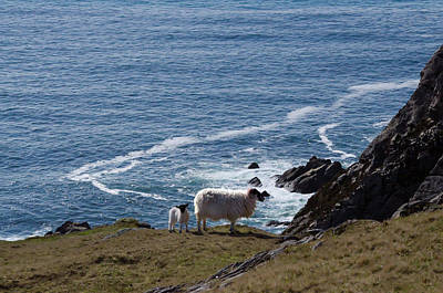 Slieve League Photograph - Irish Sheep Grazing On The Slieve League Cliffs by Bill Cannon