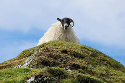Irish Sheep - King Of The Hill Art Print by Bill Cannon