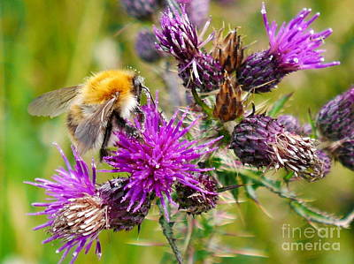 Slieve League Photograph - Irish Thistle And Bee by Lexa Harpell